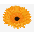 yellow gerbera isolated on white background vector image