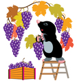 mole harvesting grapes vector image