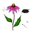 echinacea drawing isolated purpurea flower vector image
