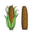 corn cob hand drawn isolated icon vector image