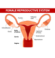 Uterus and uterine tubes vector image