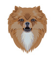 Portrait of pomeranian dog isolated on white vector image