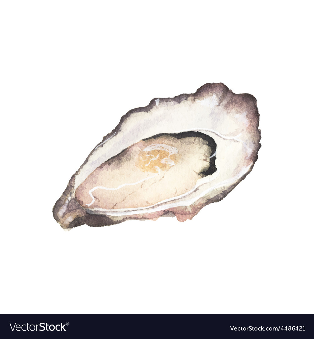 Watercolor oyster on the white background vector