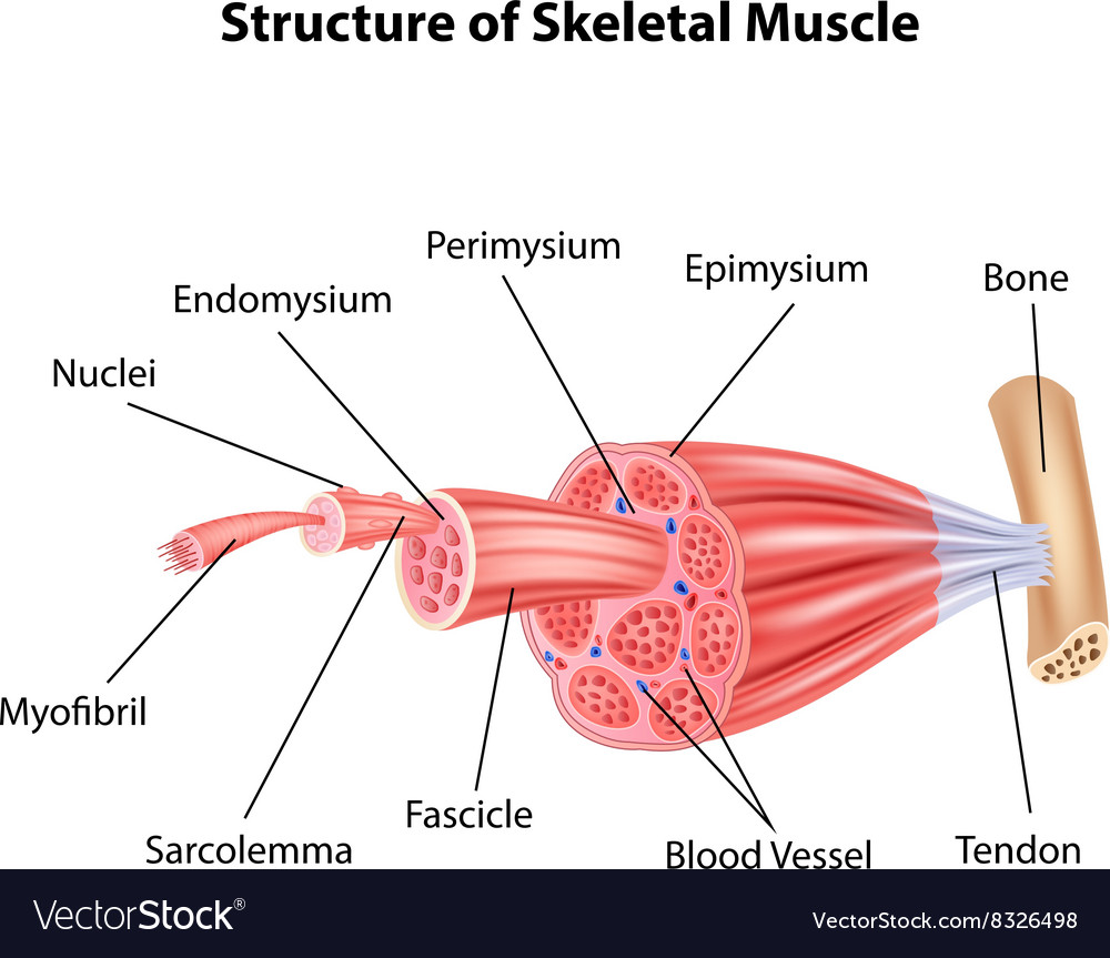 Cartoon of structure skeletal muscle anatomy vector