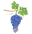 vector grape cluster vector image vector image