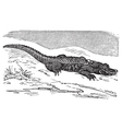 American Alligator engraving or Alligator vector image