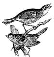 Seaside sparrow engraving vector image vector image