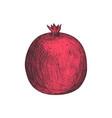 fresh pomegranate fruit hand drawn isolated icon vector image