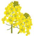 rape flower brassica napu vector image vector image