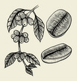 coffee plant branch vector image
