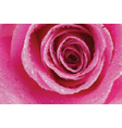 rose texture vector image vector image