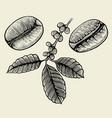 hand drawn arabica beans vector image
