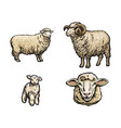 sketch sheep lamb horned ram set vector image