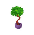 bonsai tree houseplant potted plant vector image