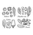walnut cashew pistachio and peanut vector image