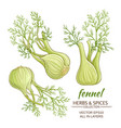 Fennel set vector image