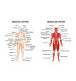 human muscular skeletal systems poster vector image