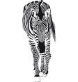 the going zebra vector image vector image