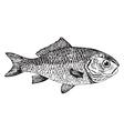 Dorade goldfish Cyprinus auratus vector image