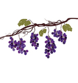 Vine with grapes vector image