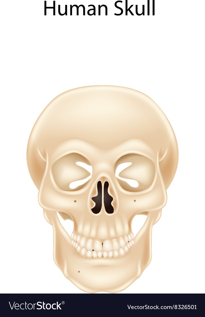 Human skull isolated on white background vector