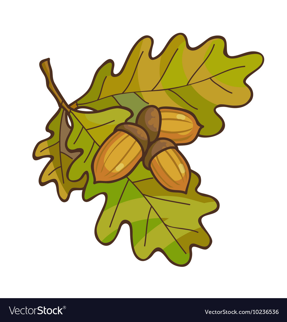 Acorn on oak branch with leaves vector