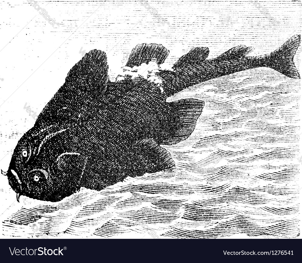 Angel shark old engraving vector