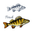 perch fish isolated sketch of freshwater predator vector image