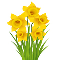 Daffodil vector image