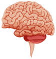 Human brain on the side vector image