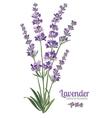 Lavender flowers elements Botanical vector image