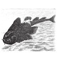 Angel shark old engraving vector image