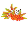 autumn rowan berries vector image
