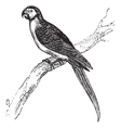 Macaw vintage engraving vector image