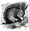 Red squirrel vector image