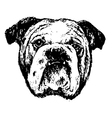Bulldog head bw vector image