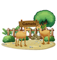 A signboard at the back of the two camels vector image vector image
