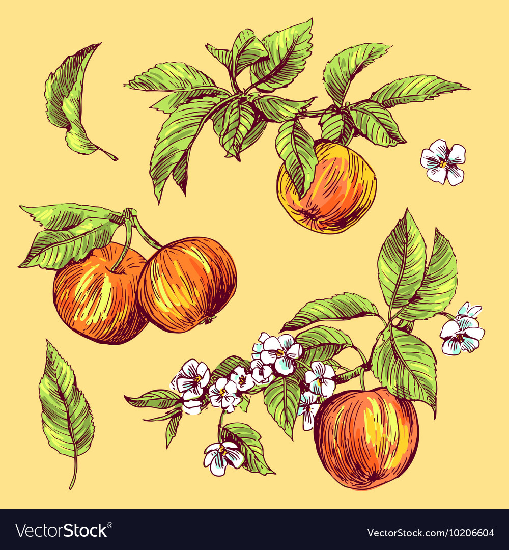 Sketching of apples vector