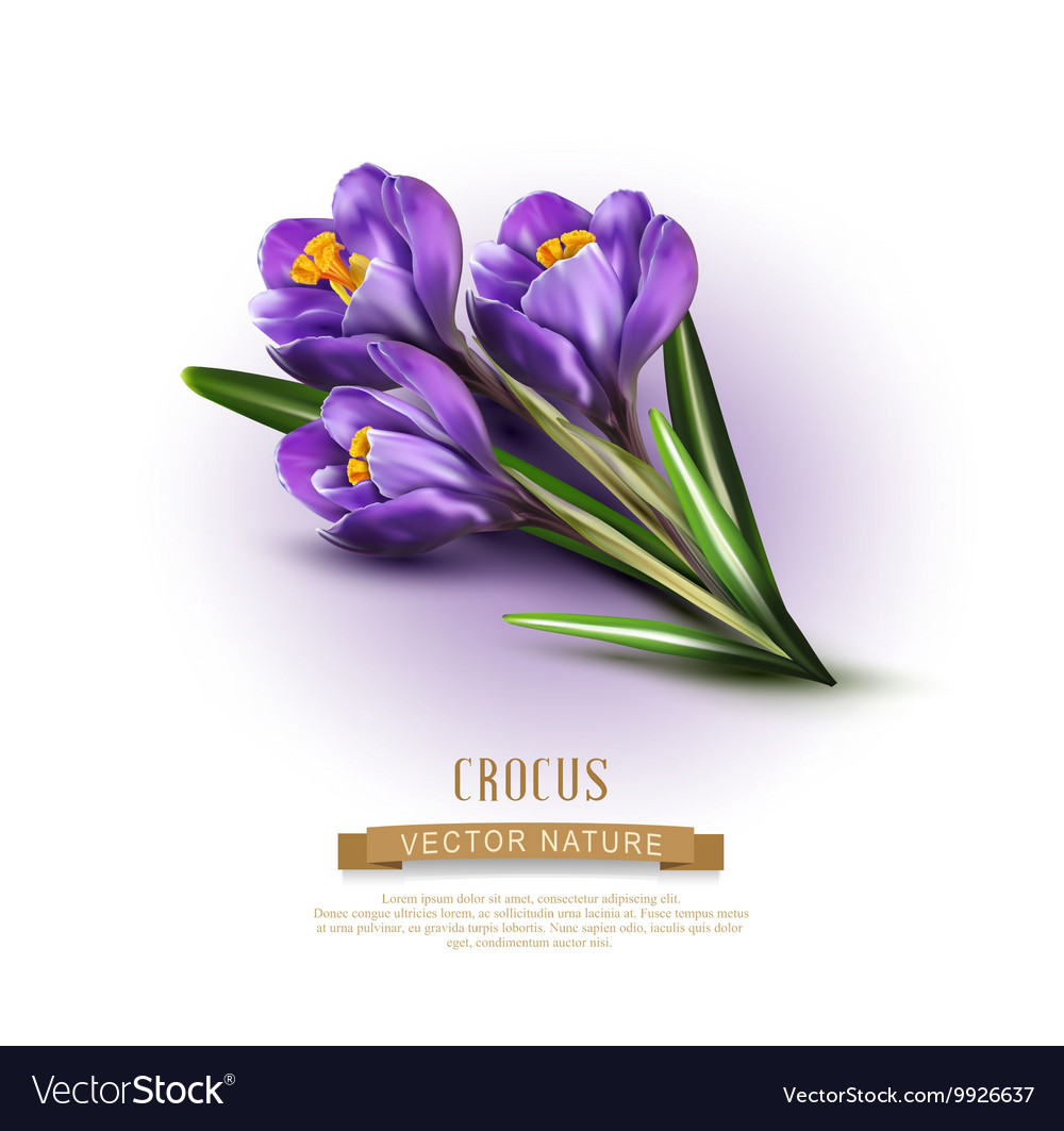 Background with blue crocuses vector