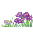 crocus isolated vector image