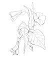Bindweed flowers vector image