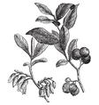 Huckleberry engraving vector image vector image