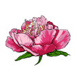 hand drawn peony flower vector image