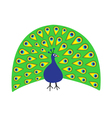 Peacock Feather out open tail Beautiful Exotic vector image
