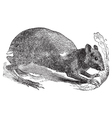 Agouti rodent engraving vector image vector image