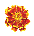 Marigold isolated images vector image