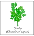 Parsley isolated on white top view vector image