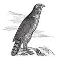 Northern Goshawk vintage engraving vector image vector image