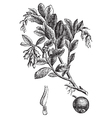 Cowberry vintage engraving vector image