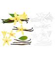 vanilla planifolia flower outline vector image